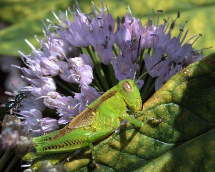 Grasshopper - Aubrey Moat