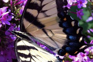 Eastern Tiger Swallowtail #4