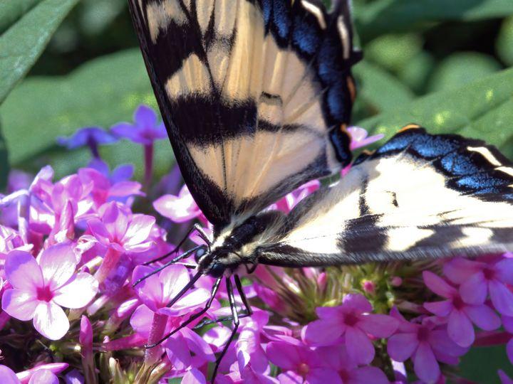 Eastern Tiger Swallowtail #3 - Aubrey Moat