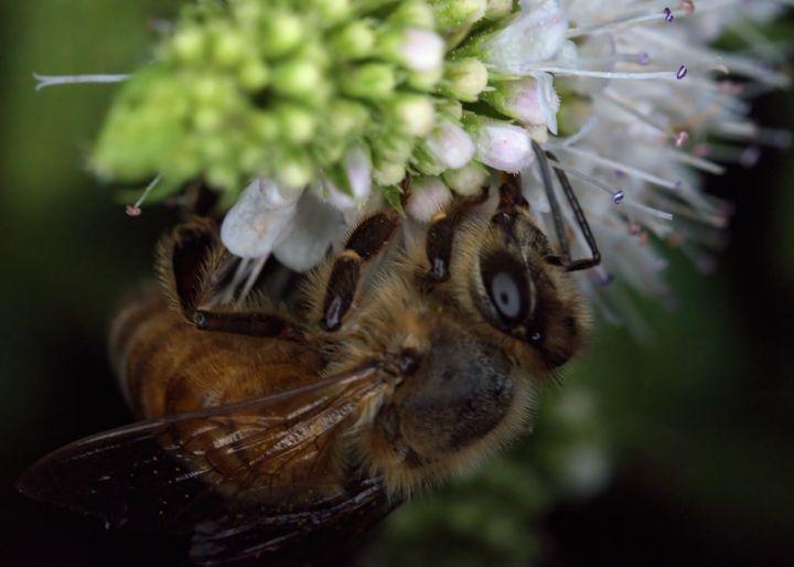 Honeybee - Aubrey Moat