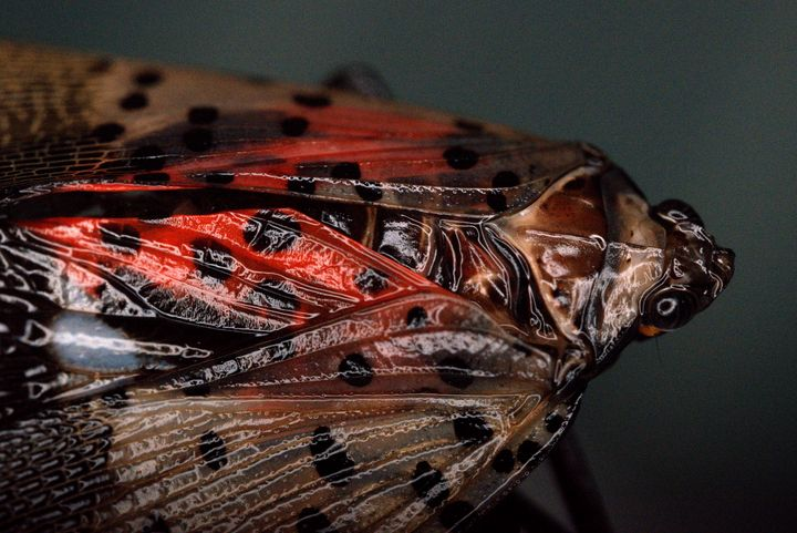 Spotted Lanternfly - Aubrey Moat