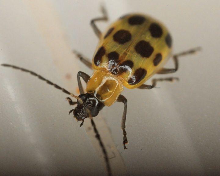Cucumber Beetle #2 - Aubrey Moat