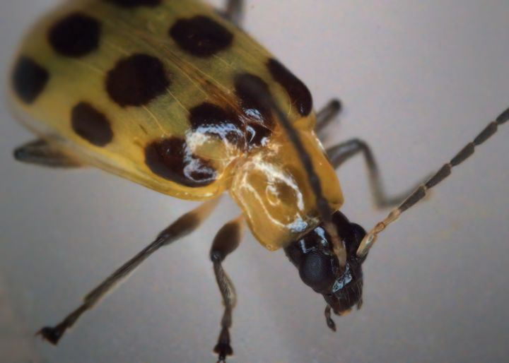 Cucumber Beetle #1 - Aubrey Moat