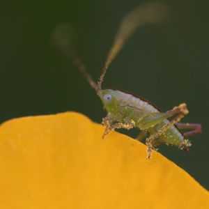Katydid Nymph on Flower - Aubrey Moat