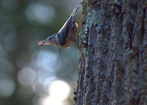 White Breasted Nuthatch With Nut - Aubrey Moat