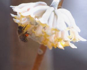 Bee With Flower #12