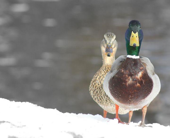 Spring duck - A.Miller