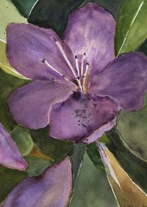 Purple Rhododendron Blossom - Joanna Alexander