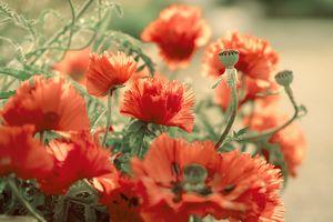 Poppies - symphony