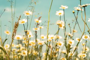 Wild herbs meadow with daisies