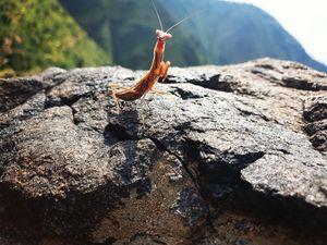A beautiful mantis