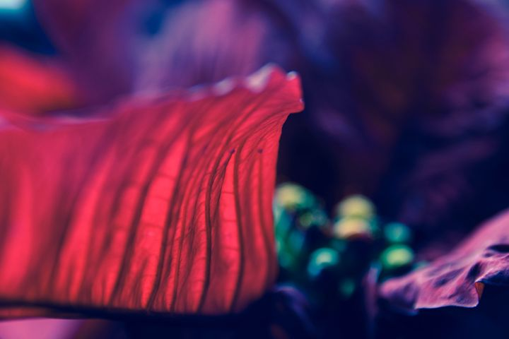 the petal of a Poinsettia - Mandi May photography