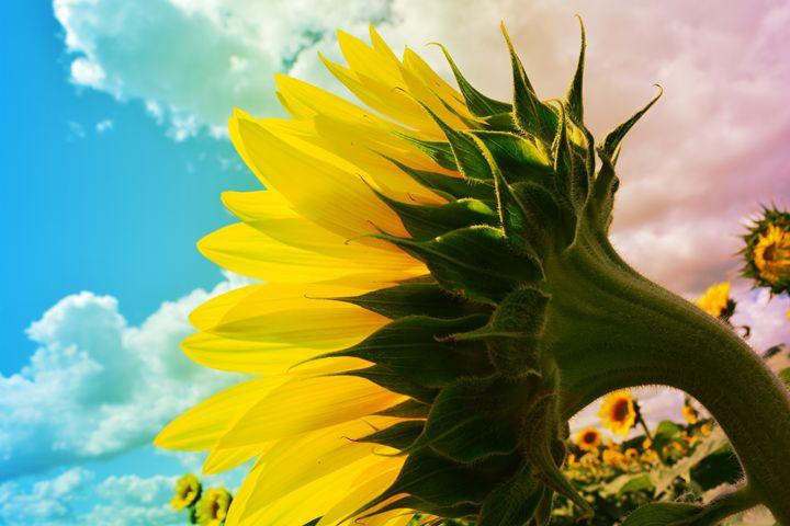 Rainbows and Sunflowers - Mandi May photography