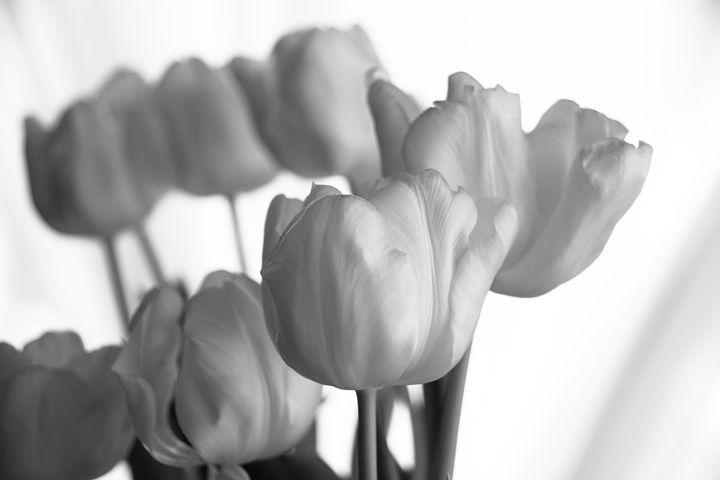 Simply Tulips - Mandi May photography