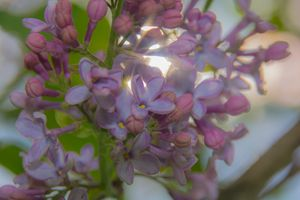 lilacs - Mandi May photography