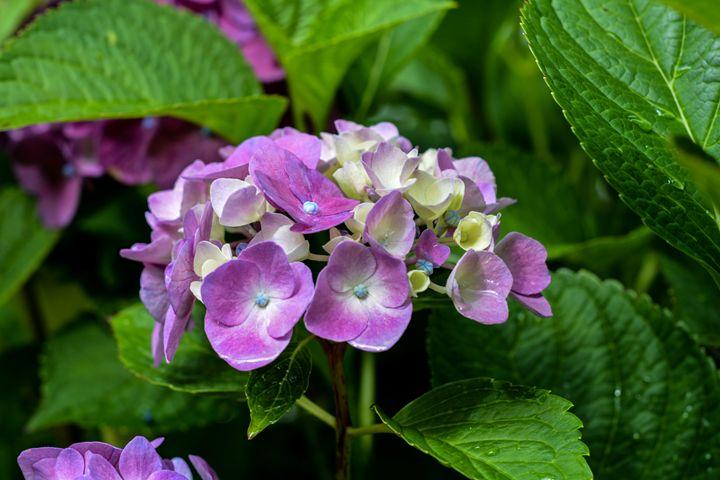 purple hydrangea - Mandi May photography