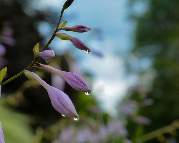 Rain drops on petals - Mandi May photography