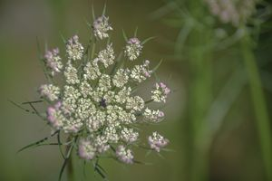 queen anne lace - Mandi May photography