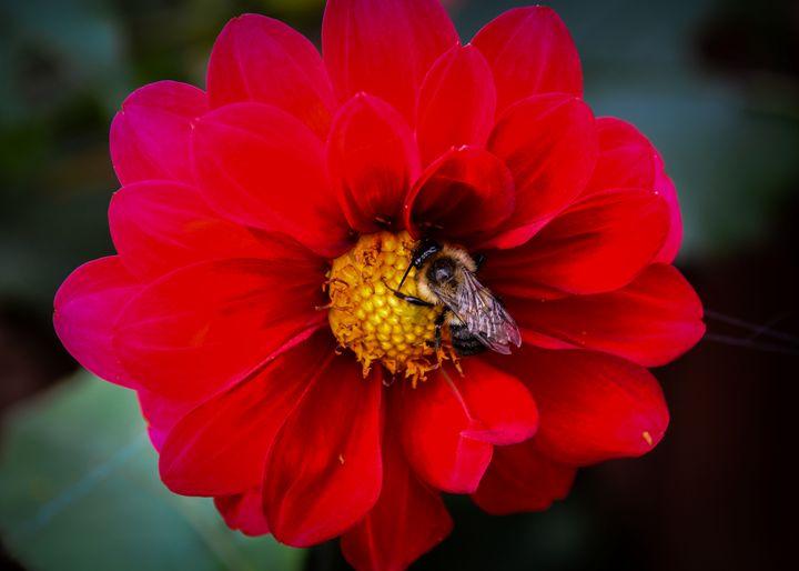 bee on dahlia - Mandi May photography