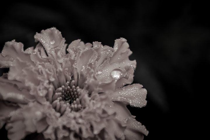 Marigold - Mandi May photography