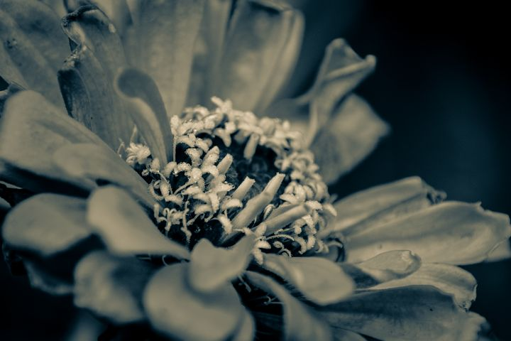 Zinnia - Mandi May photography