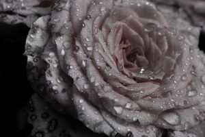 Rose - Mandi May photography
