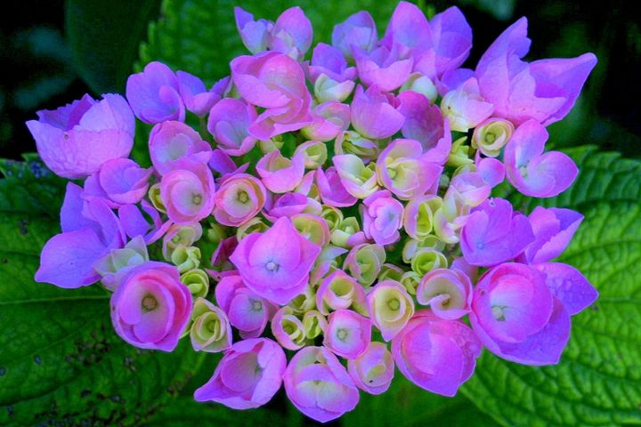 Hydrangea - glorious  nature