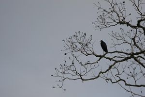 I Gotta Crow