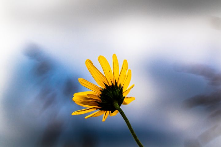 Wild Sunflower - Stockhaus Photography