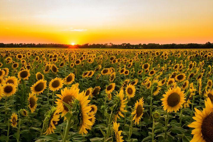 Sunflowers at Sunset - Stockhaus Photography
