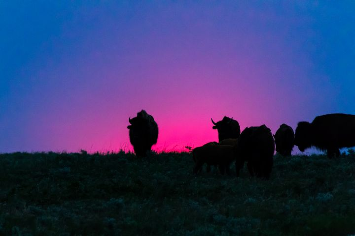 Sunset Bison - Stockhaus Photography