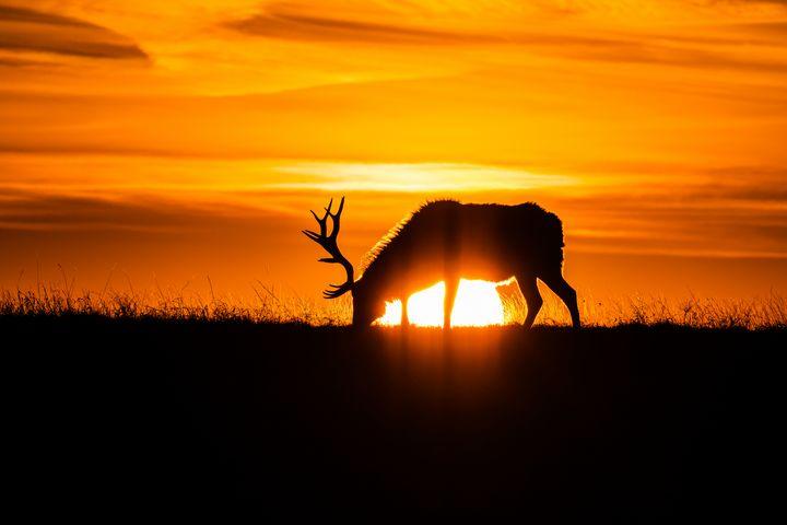 Sunrise Elk - Stockhaus Photography