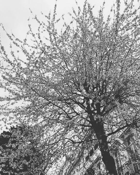 Spring Blossom - Monsieur Bouvier
