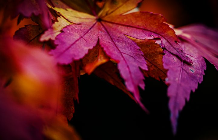 Red Maple Leaf Photograph - Studio 623 Photography