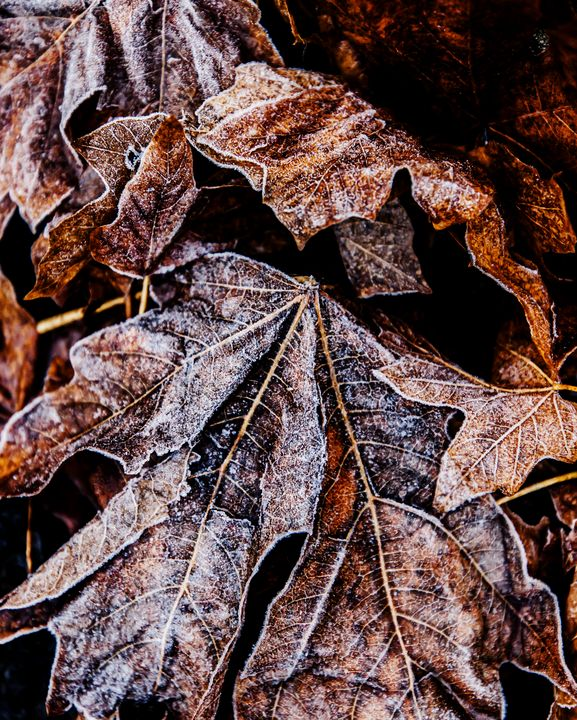 Frosty Autumn Leaves - Studio 623 Photography