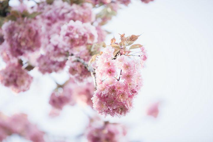 Pink Cherry Blossom Photograph - Studio 623 Photography