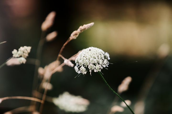 Queen Anne's Lace - Studio 623 Photography