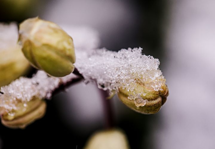 Snowy Clematis Buds in early spring - Studio 623 Photography