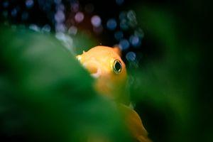 Hiding Goldfish