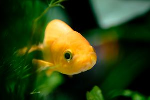 Little Loinhead Goldfish