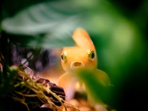 Goldfish in Shelter