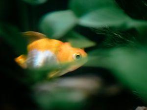 Shrinking Oranda Goldfish.