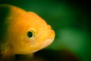 Seeking Goldfish