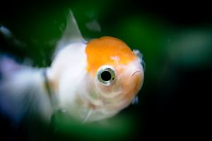 Shrinking Shy Goldfish.