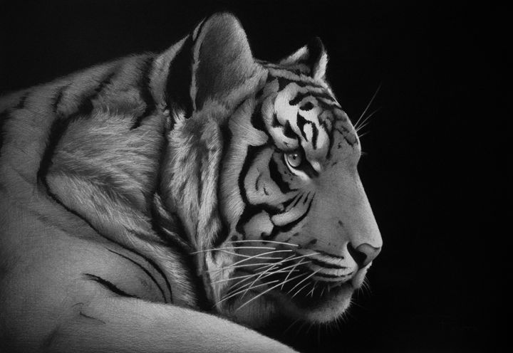 Tiger - Traditional Drawings