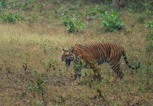 Wild Tiger of the Jungle
