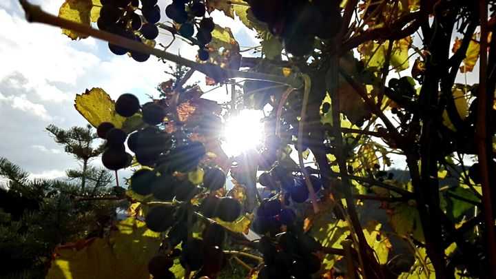 sun grapes - Jana ART