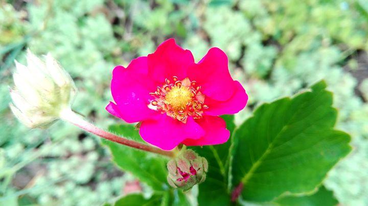 strawberry flower 1 - Jana ART