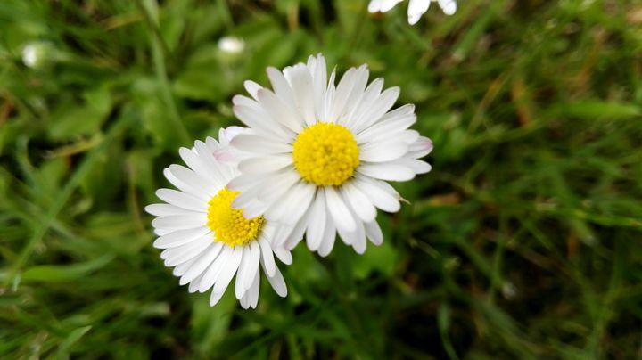 Daisy - Jana ART