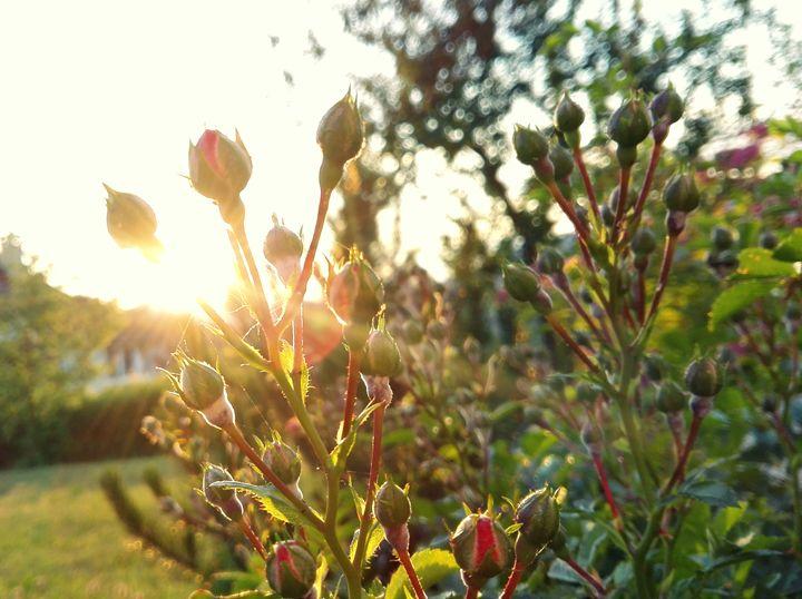 sunshine trought roses - Jana ART